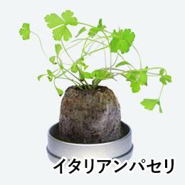 リトルハーブ(ミニ缶入り)(イタリアンパセリ)