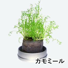 リトルハーブ(ミニ缶入り)(カモミール)